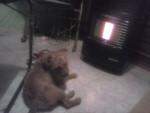 Chien benji - Terrier de Norwich Mâle (4 ans)