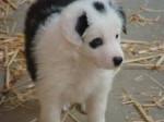 Chien Sopt - Terrier de Norwich Mâle (10 mois)