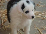 Chien Sopt - Terrier de Norwich Femelle (10 mois)