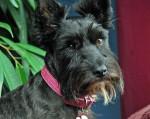Chien Dixie - Terrier Ecossais Femelle (20 ans)