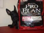Chien Tom - Terrier Ecossais Mâle (4 mois)
