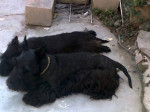 Chien Papis de Tom - Terrier Ecossais  (3 ans)