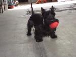 Chien Jr - Terrier Ecossais Mâle (5 ans)