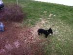 Chien Scotty - Terrier Ecossais Mâle (5 ans)