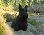 Chien Guinness - Terrier Ecossais Mâle (18 ans)