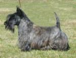 Chien Scottish Terrier - Terrier Ecossais  (0 mois)