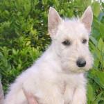 Chien Scottish Terrier - Terrier Ecossais Femelle (0 mois)