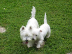 Chien WEST HIGLAND WHITE TERRIER SCOTTIE ET CORK - Terrier Ecossais  (0 mois)