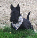 Chien scottish terrier  Automne de la foret de garsenland - Terrier Ecossais  (0 mois)