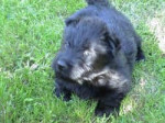Chien Duke - Terrier Ecossais Femelle (2 mois)