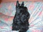 Chien Duke - Terrier Ecossais Femelle (7 ans)