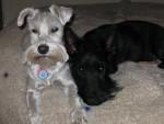 Chien Sammy et Duke - Terrier Ecossais Femelle (0 mois)