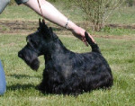 Chien SCOTTISH TERRIER  DD PASSE PARTOUT DE GLENDERRY - Terrier Ecossais Mâle (0 mois)