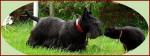 Chien Ondine et Amulette - Terrier Ecossais Femelle (Autre)