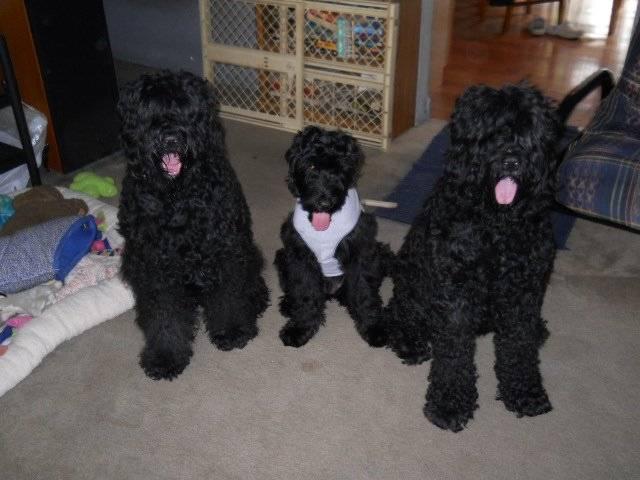 Chien Morgan (AKC) - Terrier noir russe Femelle (1 an)