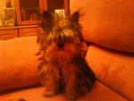 Chien Mirmo - Toy terrier noir et feu Mâle (3 ans)