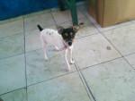 Chien nuve - Toy terrier noir et feu Femelle (9 mois)