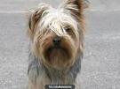 Chien gus espejo - Toy terrier noir et feu Mâle (3 ans)