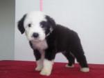 Chien Punchis - Toy terrier noir et feu Femelle (6 ans)