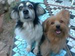 Chien Pequeña - Toy terrier noir et feu Femelle (7 ans)