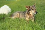 Chien Sassy and Jack - Vallhund suédois Femelle (20 ans)