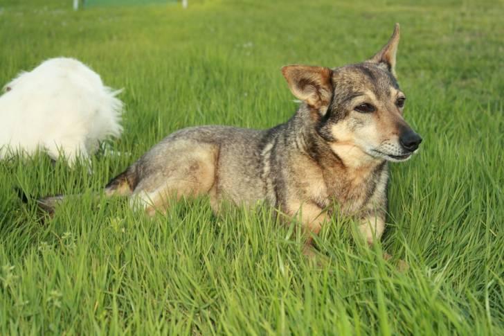 Chien Sassy and Jack - Vallhund suédois  (20 ans)