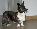Chien Welsh Corgi Cardigan - Welsh Corgi Cardigan  (0 mois)