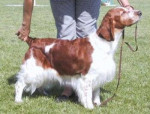 Chien Springer Gallois - Welsh Springer Spaniel  (0 mois)