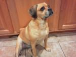 Chien Sophie - Puggle Femelle (7 ans)