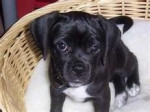 Chien lucy - Puggle Femelle (3 mois)