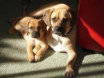 Chien buster and mini - Puggle  (1 an)