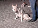 Chien Cane di una mostra canina - Chien Loup Tchèque  (0 mois)