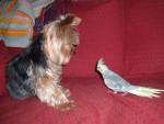 Chien aloa ( chien dogzer) - Chien Loup Tchèque Mâle (1 mois)