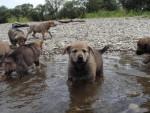 Chien Chiots chien-loup tchécoslovaque de 6 semaines\