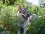 Chien Chien loup tchécoslovaque Wolfie - Chien Loup Tchèque  (0 mois)