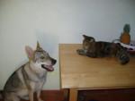 Chien Wolfie chien loup tchécoslovaque - Chien Loup Tchèque  ()