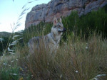 Chien Wolfie chien loup tchécoslovaque - Chien Loup Tchèque  (0 mois)