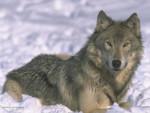 Chien loup - Chien Loup Tchèque  (0 mois)