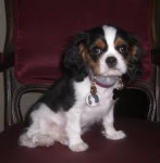 Chien Cecilia - King Charles Femelle (0 mois)