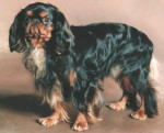 Chien King Charles - King Charles  (0 mois)