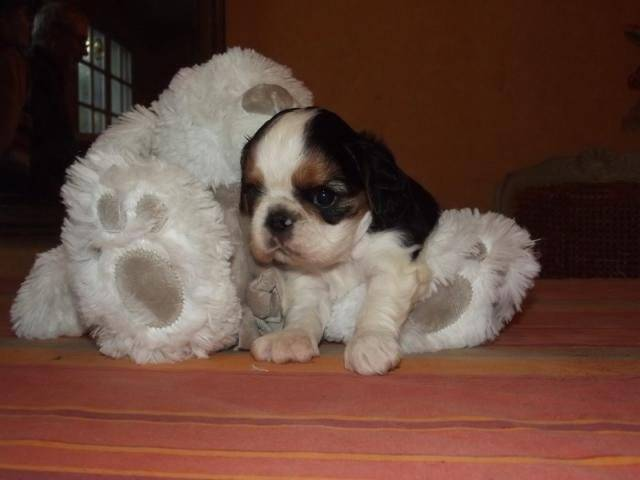 Chien King Charles Spaniel Gingembre - King Charles  (0 mois)