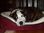 Chien Socks - American Hairless Terrier Femelle (5 ans)