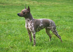 Chien American Hairless Terrier - American Hairless Terrier  (0 mois)