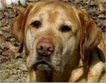 Chien kasey - American Hairless Terrier Mâle (5 ans)