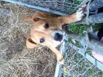 Chien Kloe - American Hairless Terrier Mâle (1 an)