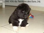 Chien I love You du Territoire des Ours à 24 jours - Akita américain  (0 mois)
