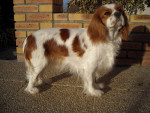 Chien Coco - Cavalier King Charles Femelle (2 ans)