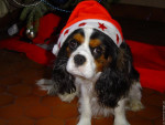 Chien Toscane - Cavalier King Charles Femelle (1 an)