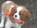 Chien You look of - Cavalier King Charles Mâle (4 mois)