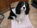 Chien Susy - Cavalier King Charles Femelle (2 ans)